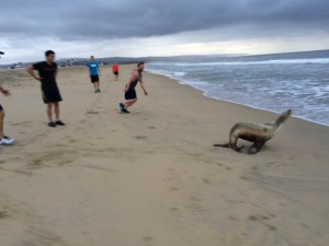 Seal escaping the beach running NUCCA doctors