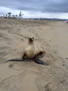 A beach seal posing for a picture on our beach run