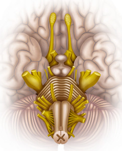 The Brainstem is the most primitive part of the brain, but governs most of the life sustaining processes for the body.